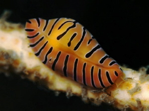Tiger cowrie, Nelson Bay by Doug Anderson 